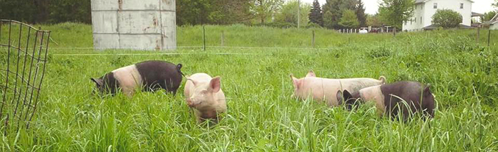 pastured-pork-northern-indiana.jpg