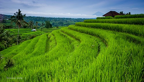 Pura Luhur Batukaru temple & Jatiluwih Rice Terraces - IDR 500,000++ per person mineral water supplied.With an English speaking driver, visit the famous rice fields of Jatiluwih, where farmers practice organic farming in some of Bali's most beautiful rice fields. Then on to Pura Luhur Batukaru temple, built in the 11th century and one of Bali's most famous temples.You can also wash in the sacred springs within the temples. Sarongs will be provided