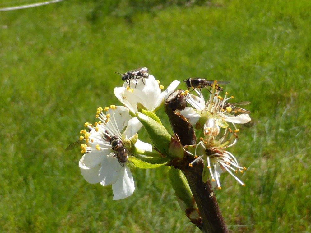 wild pollinators on fruit blossom.jpg