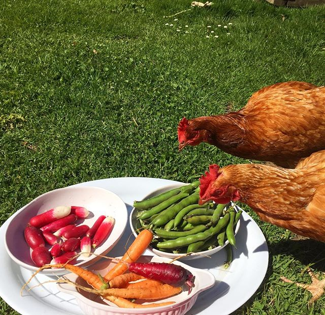 I had a blast in the garden today harvesting fresh produce for the kids to enjoy snacking on in there garden to table lesson 🥕🥒🥦 So did the chickens as you can see 😂🐔 They enjoyed radishes, broad beans, rainbow carrots and kale chips 💚👅 How divine is this sunshine? ☀️ . . . #nutritionwithphoebe#freshproduce#gardentotable#eatyourveggies#kidsnutrition#aucklandnutrition#aucklandnutritionist#qualifiednutritionist#wholefoods#eatrealfood
