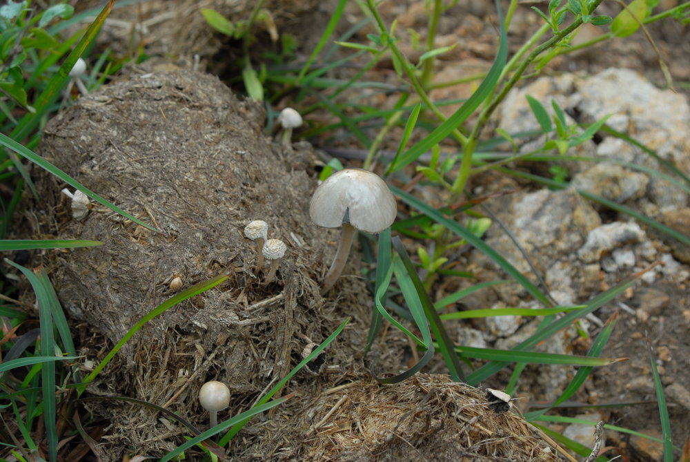 Elephant dung is so fertile that mushrooms quickly grow in it.