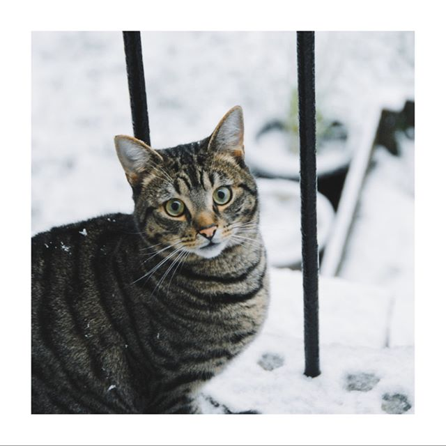 Caught this guy exploring in the snow last week.  He was loving it! . . . . . . . . . . #february #winter #winterweather #snow #snowy #snowywinter #catsinsnow #outsidecat #catsofinstagram #catlover #meow #instacat #ilovecats #tabby #tabbycat #tabbycats #tabbycatsofinstagram #purr