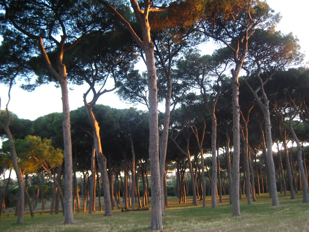 Umbrella Pines in Villa Pamphilj, Rome. © Tiffany Parks