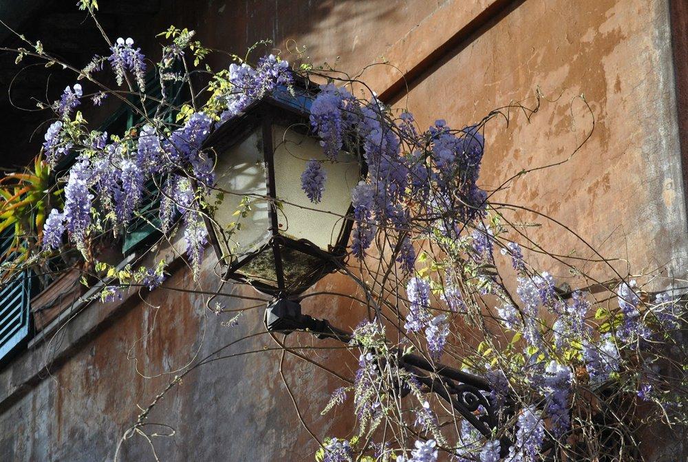 Wisteria on a street lamp. © Claudio Ianniello