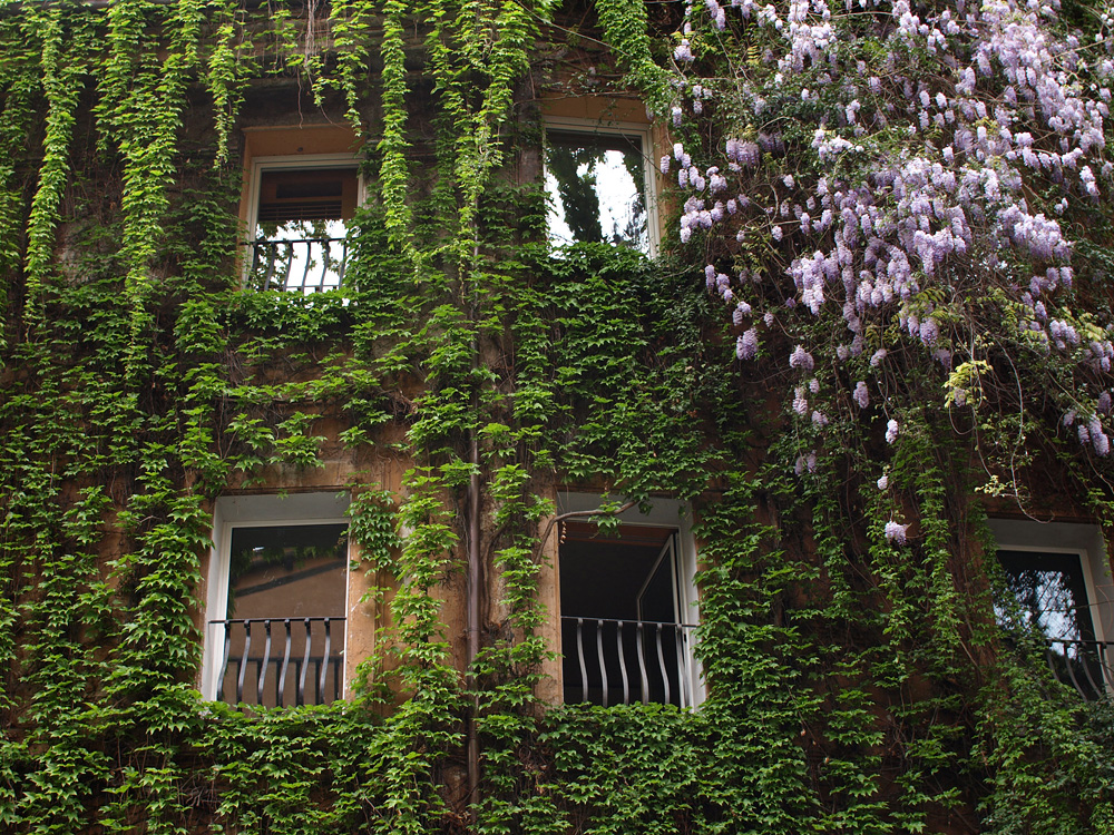 Wisteria at Rome's Hotel Raphael. [ Source ]