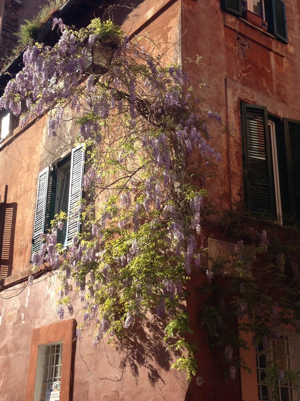 Sunny wisteria in Trastevere. © Tiffany Parks