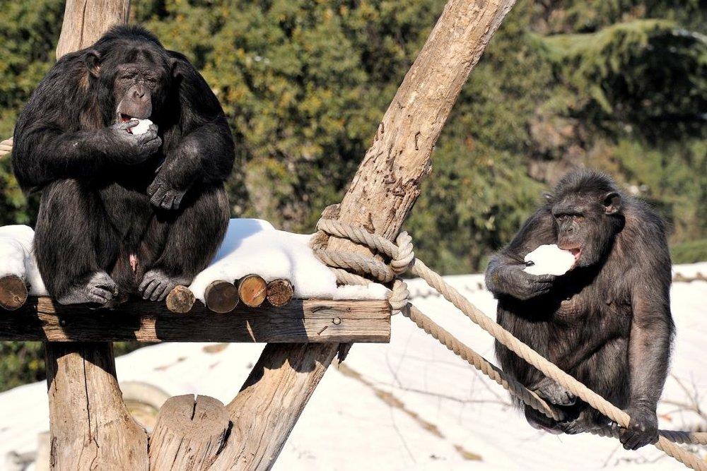 MDG_6204 scimpanze e la neve BASSA.jpg