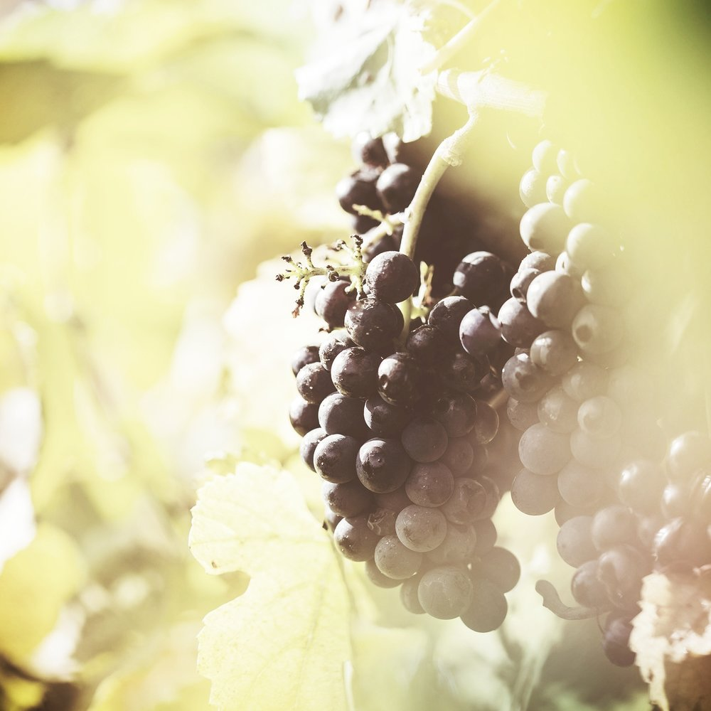 ripe-wine-grapes-in-vineyard-field-picjumbo-com.jpg