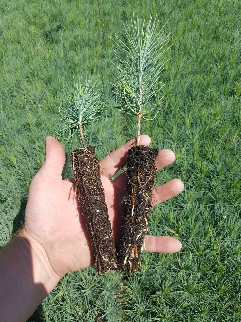 Preliminary results from a recent customer trial with Ponderosa Pine seedlings. Vermiculite soil blend (control) on the left and Rogue Biochar™ soil blend (test) on the right.