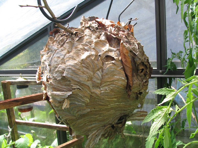 Wasp Nest That Frightened Our Gardener