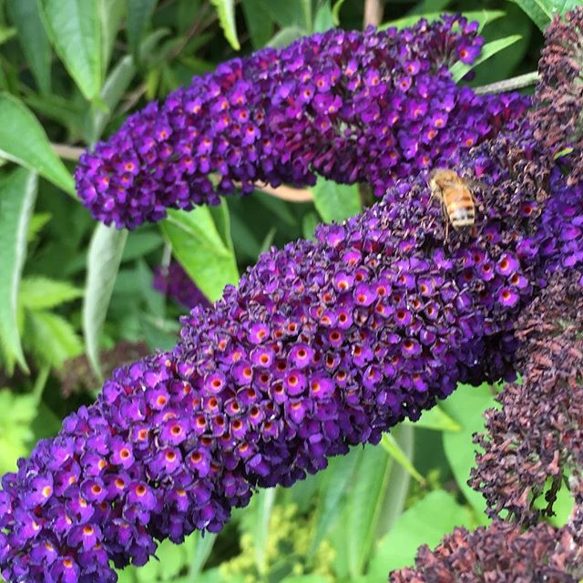 💜 #Buddleia my official #smellofsummer ! This is what the colour #purple would smell like in my mind! 💜 #honeybee #summergarden #beeple #vancouvergardens #arbutusgreenway #grownincompost #stopandsmelltheflowers #julycolour #vancouverisawesome #cityfarmer