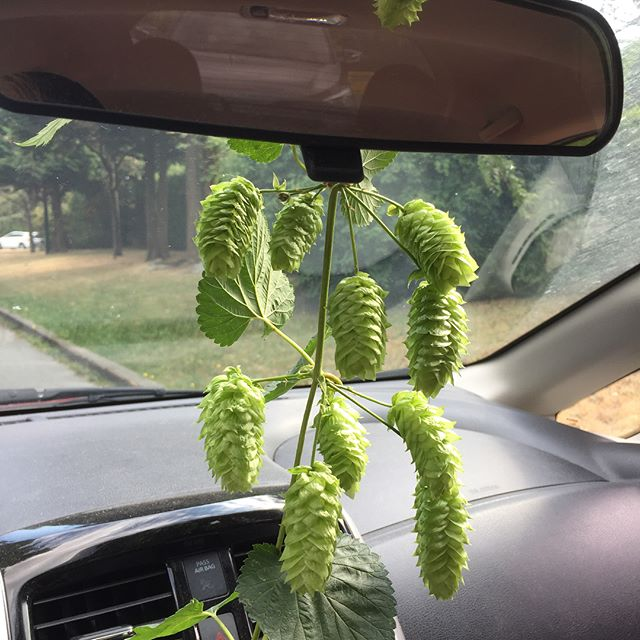 🌱Evolution of the #cityfarmer #august #airfreshener!🌿☀️🚗 👃 🍺  #Inhale #drinkitin #itshappening #summersmells #friyay #friyayvibes #longweekend #gethoppy #gethappy #grownyourown #beer #hops #harvest #hopflower