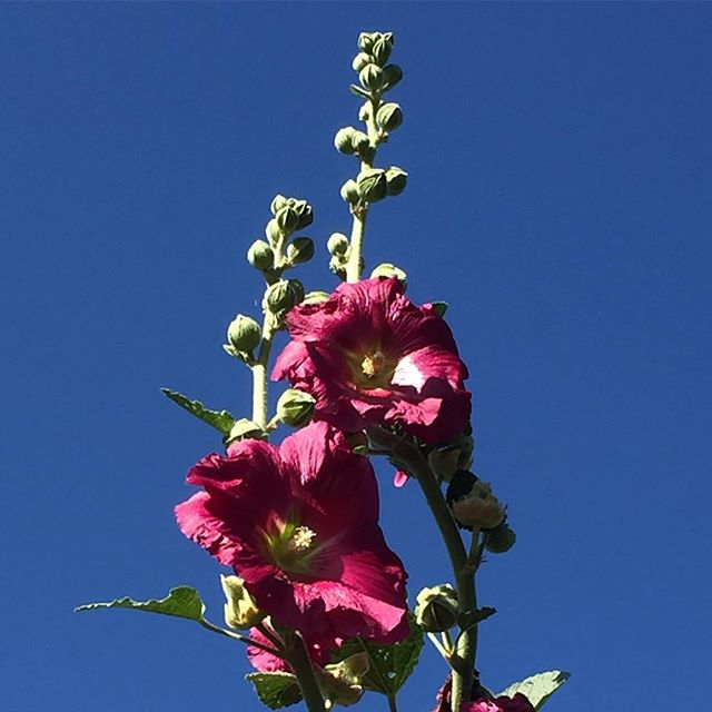 As the #hollyhocks counts down the last days of August we are so happy to have #bluesky again! @cityfarmervancouver