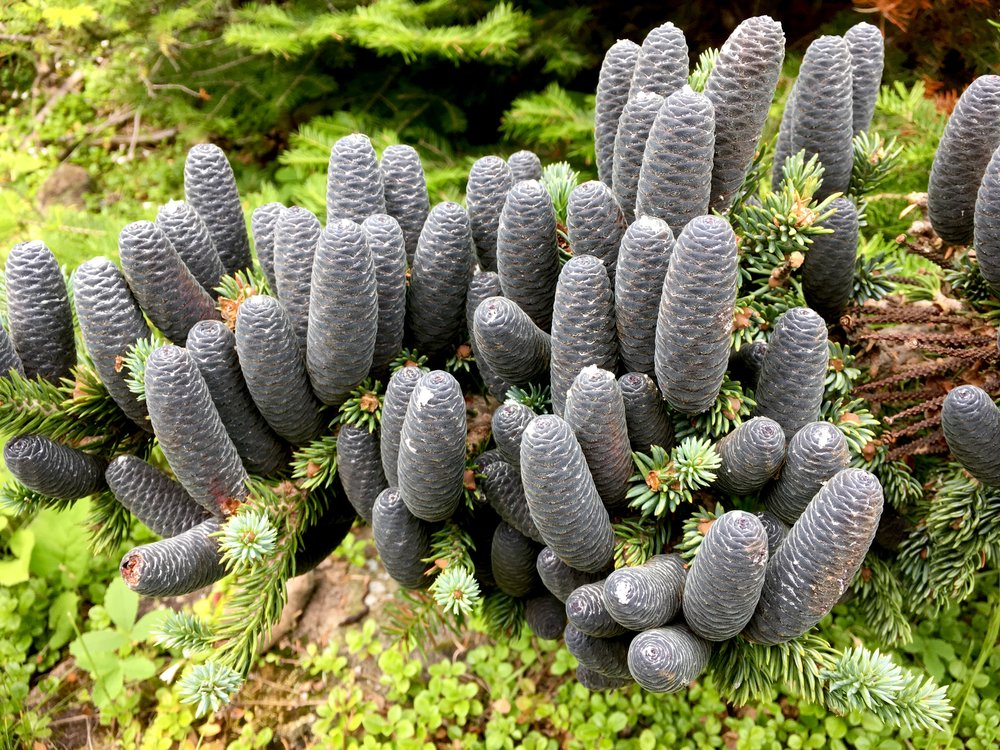 Isle Royale Balsam Fir cones / photo MM