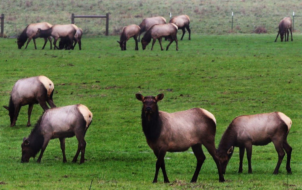 Elk occasionally gather in the field at the entrance to the valley during the winter months