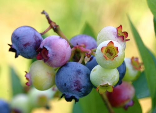 Sweetgrass Farm Winery & Distillery blueberries