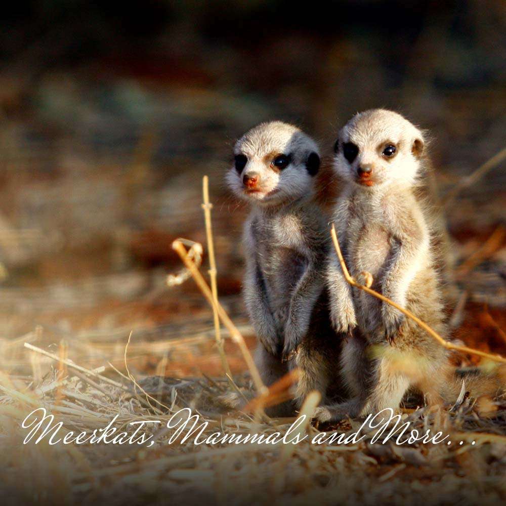 Get up close and personal with the meerkats in the Kalahari Desert; go horse-riding through dunes and savannahs; sleep out under the stars; go on an amazing Big 5 Kruger Safari; even go whale watching, shark diving and kayaking with dolphins.