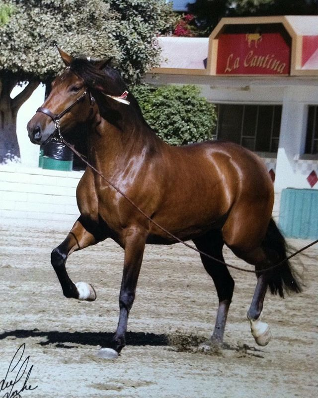 Beautiful, award-winning Purebred Andalusian and Royal Oaks Mare! . . . #bayhorse #bayhorses #royaloaksranch #horseranch #andalusian #spanishhorse #arizona #parksaz #horserunning #horsesforsale #andalusianhorse #anceeregistered