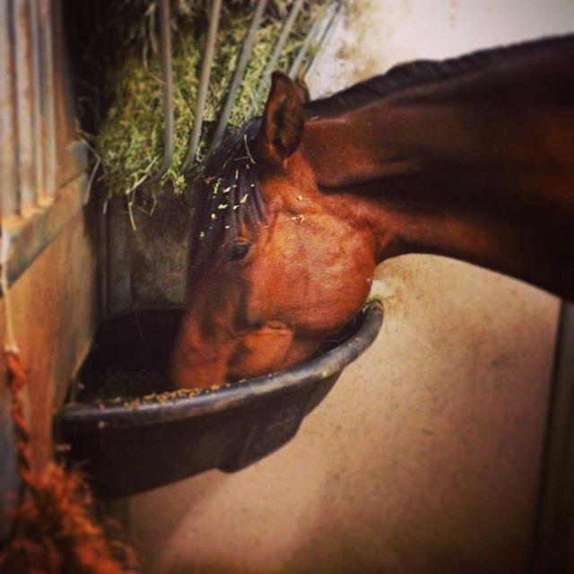 Who's hungry? . . . #bayhorse #bayhorses #royaloaksranch #horseranch #andalusian #spanishhorse #arizona #parksaz #horserunning #horsesforsale #andalusianhorse #anceeregistered