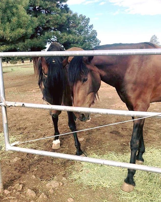 Home is where the horses are ❤️ . . . #bayhorse #bayhorses #royaloaksranch #horseranch #andalusian #spanishhorse #arizona #parksaz #horserunning #horsesforsale #andalusianhorse #anceeregistered