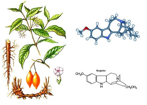 """- MAPS Multidisciplinary Association for Psychedelic Studiesoffers the following information about ibogaine.Ibogaine is a psychoactive alkaloid naturally occurring in the West African shrub iboga. While ibogaine is a mild stimulant in small doses, in larger doses it induces a profound psychedelic state. Historically, it has been used in healing ceremonies and initiations by members of the Bwiti religion in various parts of West Africa. People with problem substance use have found that larger doses of ibogaine can significantly reduce withdrawal from opiates and temporarily eliminate substance-related cravings.Although first-hand accounts indicatethat ibogaine is unlikely to be popular as a recreational drug, ibogaine remains classified as a Schedule I drug in the United States (it is also scheduled in Belgium and Switzerland). Yet despite its classification as a drug with a """"high potential for abuse"""" and """"no currently accepted medical use,"""" people who struggle with substance abuse continue to seek out international clinics or underground providers to receive ibogaine treatment."""