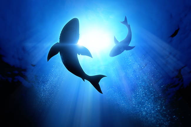 Great White Cafe - Find out more about the Great White Shark cafe located between the coasts of California and Hawaii in the Pacific Ocean, thanks to this great video from the Monterey Bay Aquarium Research Institute.
