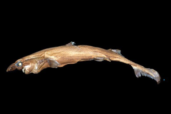 New Shark! - Everything you ever wanted to know about this ugly new lanternshark, discovered recently by scientists can be found right here.