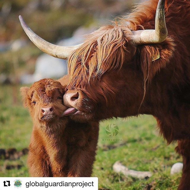 Oh that's the spot. I'm reading and sharing with my family about the power of mindful hugging in @thichnhathanhsangha The art of communication. Sometime you don't need words. You just need a hug or..a lick. 🎯💗🐂🐂 #bondingtime #