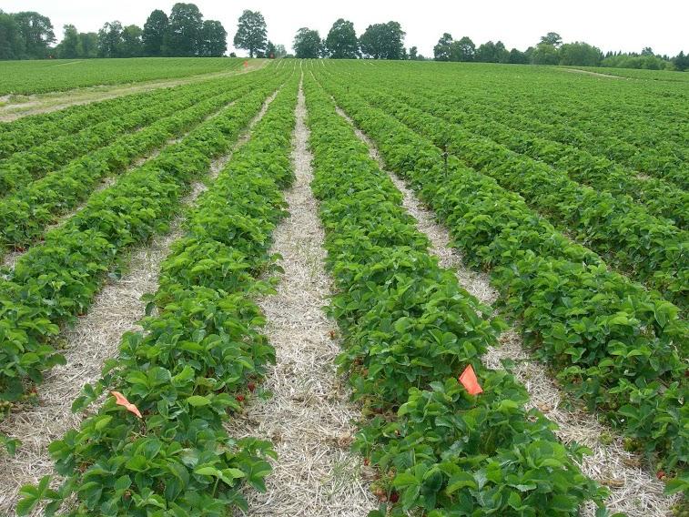 lake martin strawberry-fields.jpg