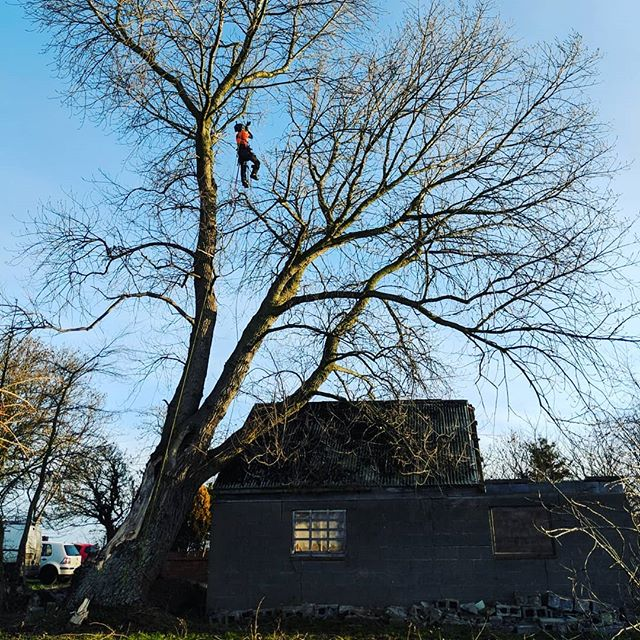 Great dismantle of a large poplar tree by climber @izzy_rascal5 today.  Tree had recently been damaged by storms and was rotten in the center so had to be removed. Most of the tree was over a concrete asbestos roof so took some carefuly skilled rigging and cutting. . . . . #notagardener #arbwork #arboristsofinstagram #arb #arblife #treework #treelife #arboriculture #arborist #forestry #treeclimbing #treeworker #treeclimber #dismantling #stein #rigging #treeremoval #treerigging #rottentree #roperunner #srt #cutanddrop #notidyup #lovemyjob #bestjobintheworld #bestjobever