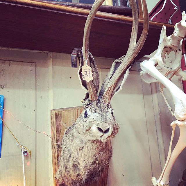 Who needs these taxidermied Jackalopes on their walls? I think I do! #jackalopes #mounted #taxidermy #cryptozoology #crypto #istaxidermiedaword #supercool #newaesthetic #becreepy #becreepywithme #creepylife #creepyiscool