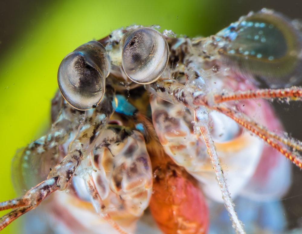 Small Mantis Shrimp