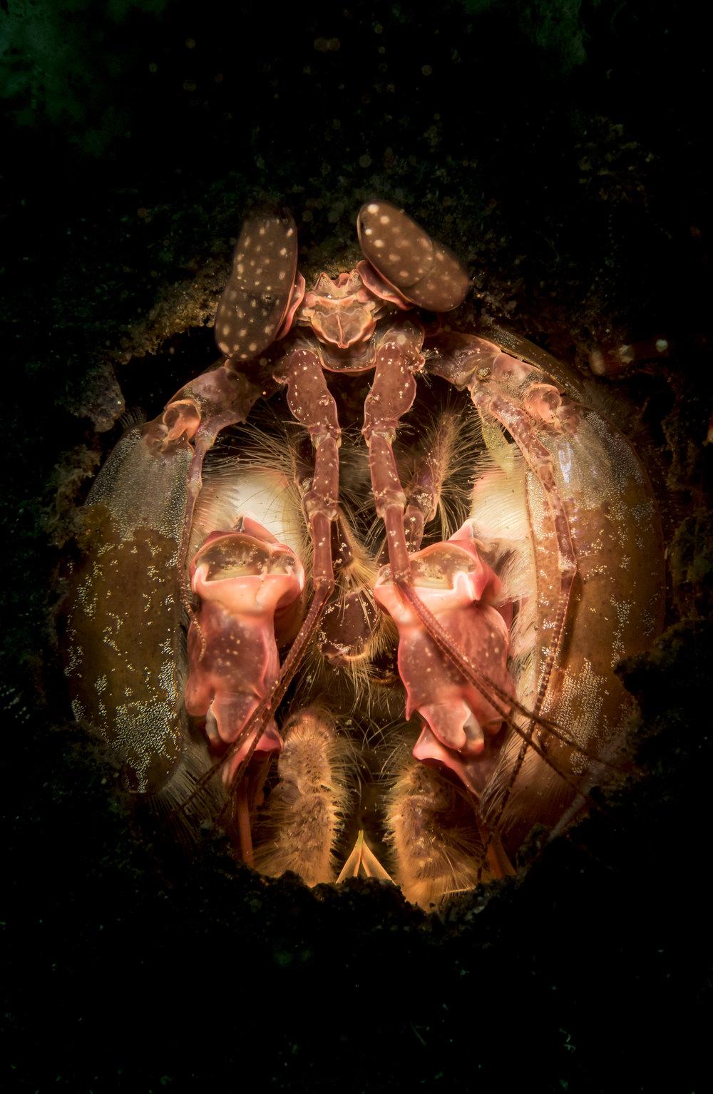 Spearing Mantis Shrimp
