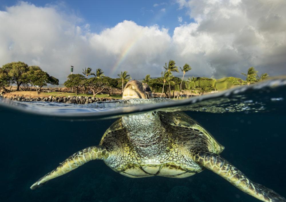 Turtle in Lahaina, Maui