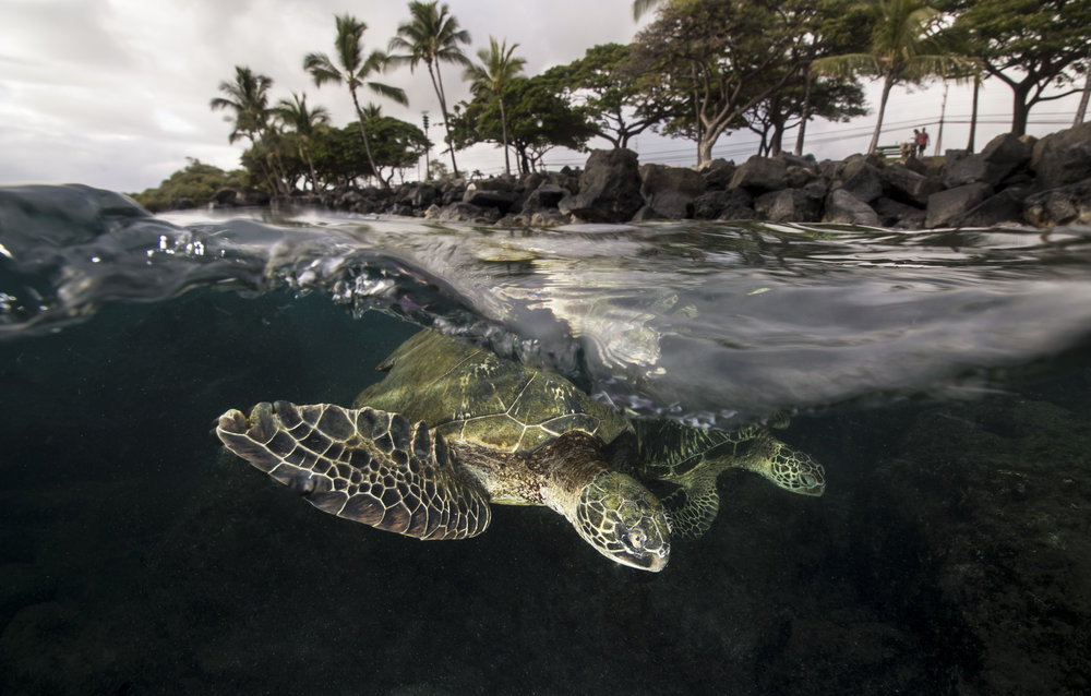 Two Turtles in Lahaina, Maui