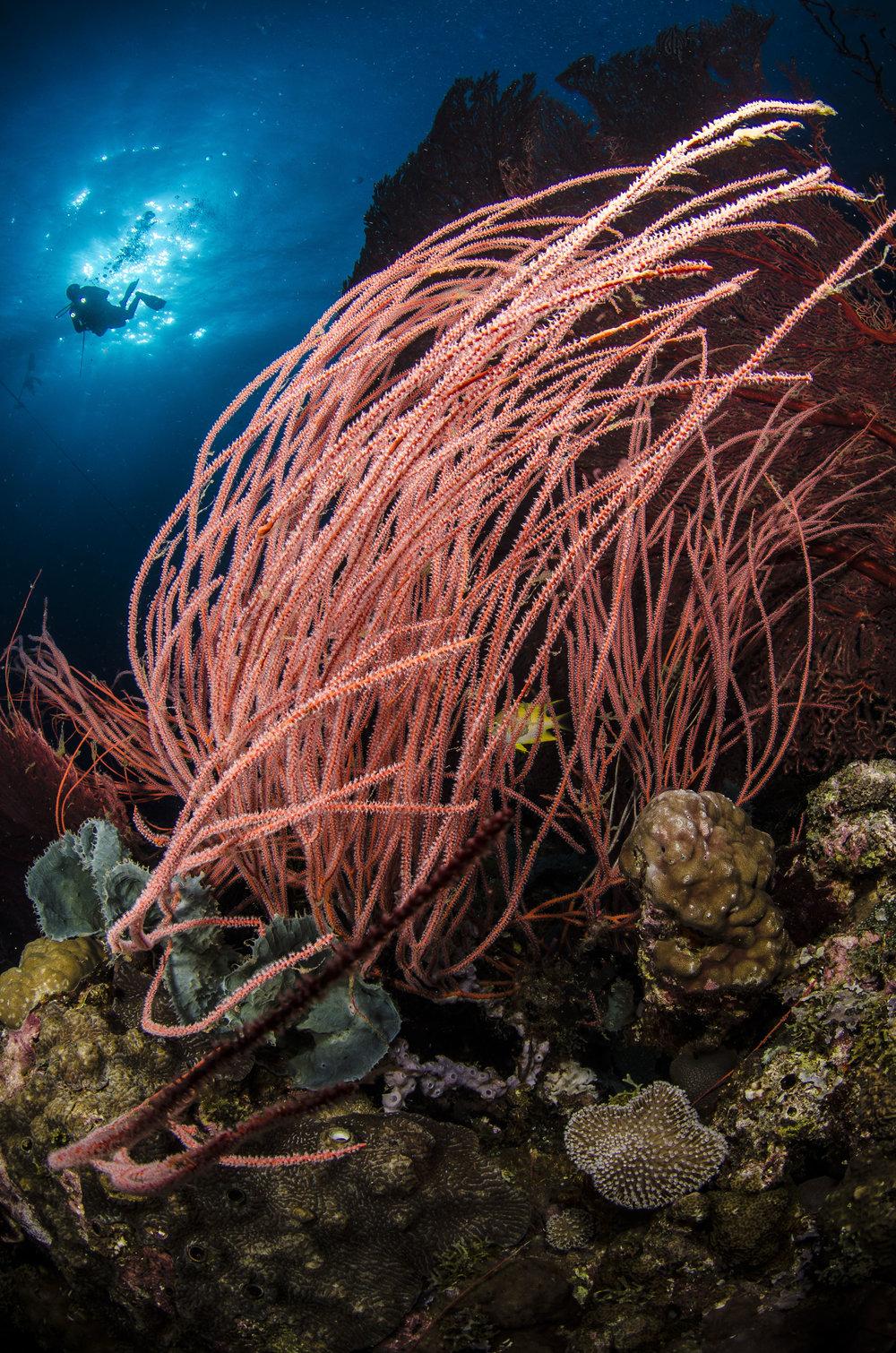 Sea Whip, Papua New Guinea