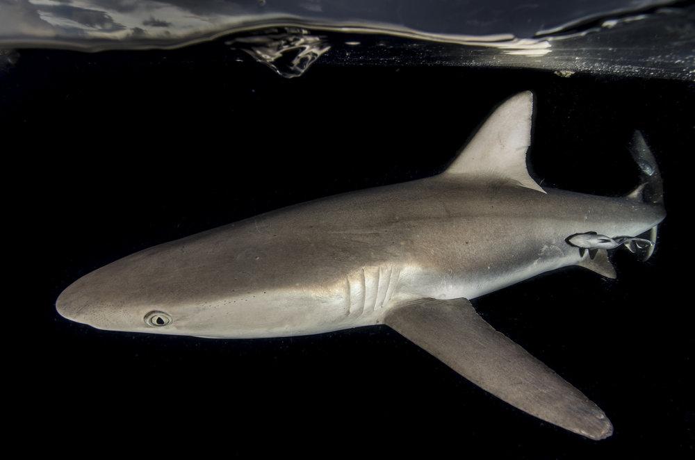 Gray Reef Shark, Papua New Guinea