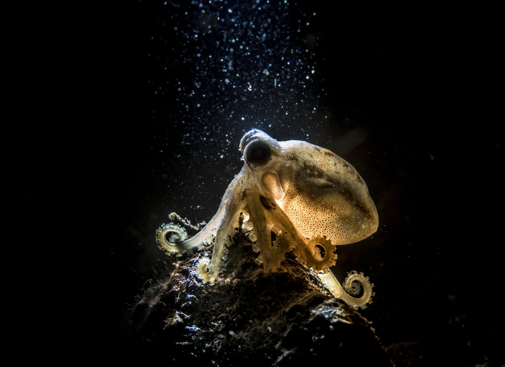 This Mototi Octopus Image won 1st place in the 2016 Deep Visions Contest in the Snoot category.
