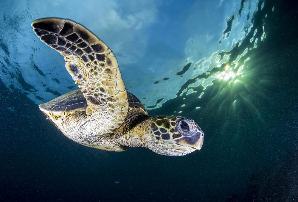 Turtle Swoop