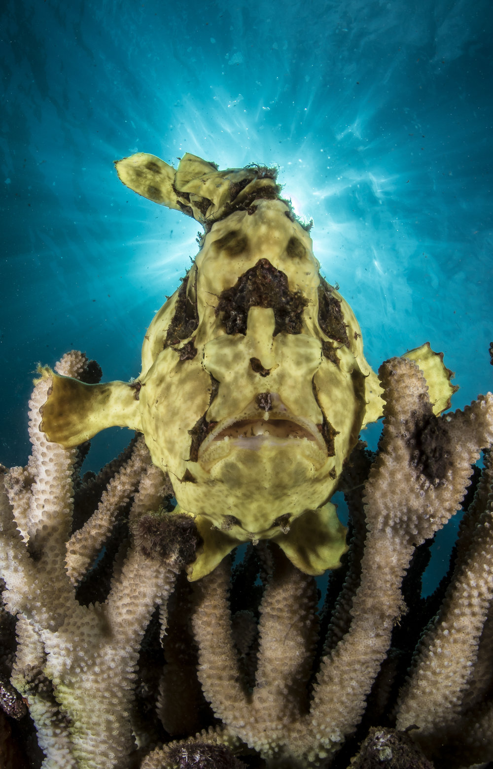 Frogfish in the Sun