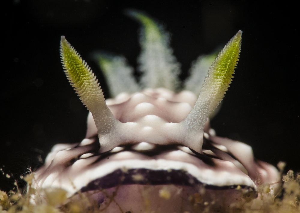 Rhinophores 2