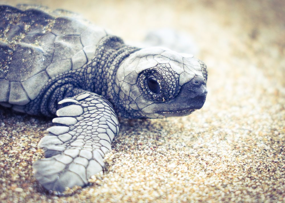 Endangered! - One of the oldest types of animals on the planet, there are 7 species of sea turtles and they play important roles in the ocean and coastal ecosystems. 6 of the species are listed as highly endangered and 1 is listed as threatened. They are extremely vulnerable to impacts such as rising temperatures, pollution, fishing, habitat encroachment and commercial use. Humans almost put sea turtles into extinction a few decades ago.