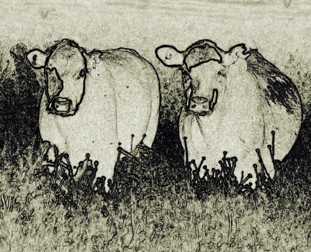 cows finis.jpg