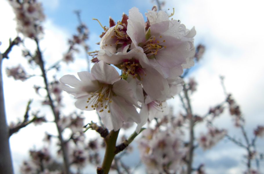 Blossoms in Sutherland