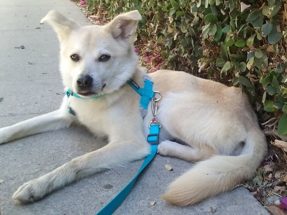 LOKI - Nice, Friendly, 21-lbs, Young Jindo/Basenji mix Boy who can go home TODAY!= Scroll down for more photos and a video =