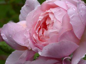 ROSE | samanthageddes.com