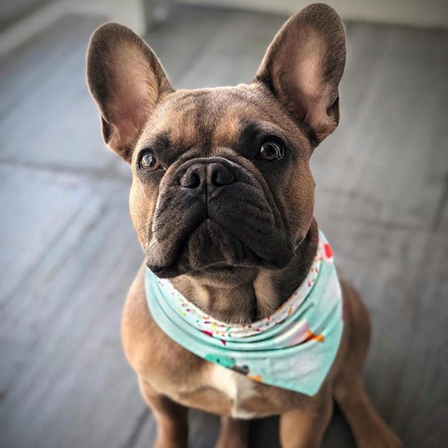 Happy Sunday Funday!☀️ See you at the @miamiflea 🍀 Get Lucky Edition! Taking it back to their original location at CANVAS 90 NE 17 Street! Today, 2-6 PM.... and in the meantime enjoy this handsome stud @king.lou.the.frenchie's picture featuring our ice cream 🍦 and sprinkles bandana! . . #Repost @king.lou.the.frenchie ・・・ Lucky 🍀 to be so incredibly good looking #luckydog #stpatricksday #stpattysday