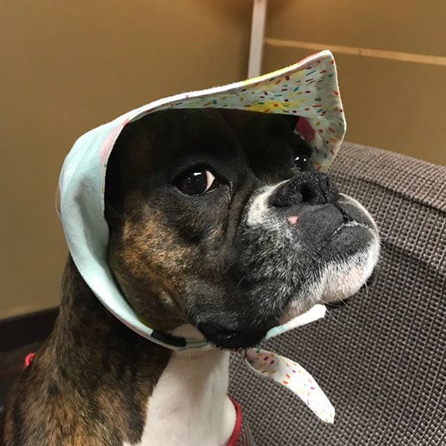 People often ask me which way their fur-child should wear our bandanas. Here we have Luna. 🤦🏻‍♀️ Luna's mom left her with Dad and he put it on like this. Thoughts? 🤔 . . . #wagboss #wagbossmiami #wagbossmiamishop  #handmade #bandana #staffordshirebullterrier #frenchiesofinstagram #staffygram #doodlesofinstagram #yorkiesofinstagram #australianshepherd #pugsofinstagram #dogsofmiami #dogblog #dogblogger #dogmom #dogmomaf #dogfriendlymiami #miamilife #miami #dogsofig #dogsofinstagram