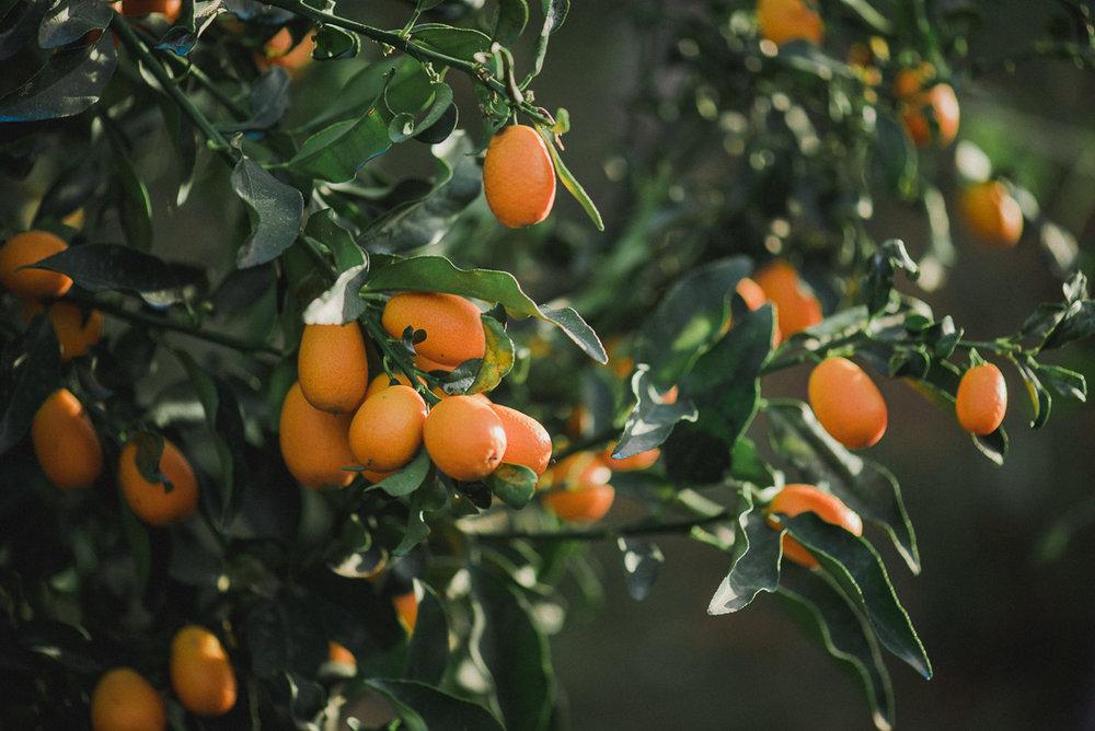 Kumquat - Κουμκουάτ