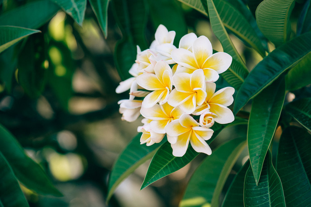 Plumeria - Πλουμέρια